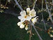 Tree blossum single