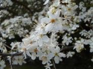 tree blossum small
