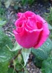 160608 Rose B2 1 - Copy