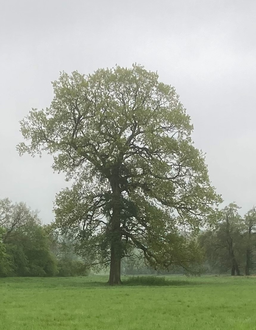 W M Oak tree 1